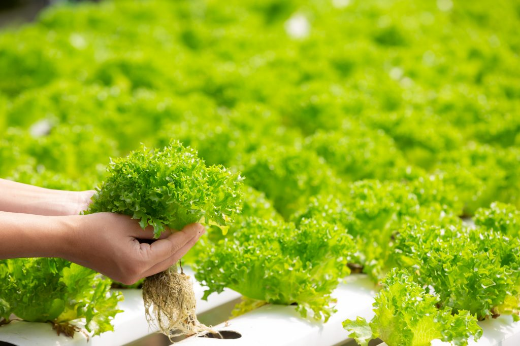 Hidroponics Greens Salads